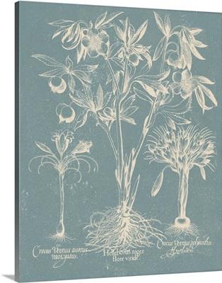 Delicate Besler Botanical II