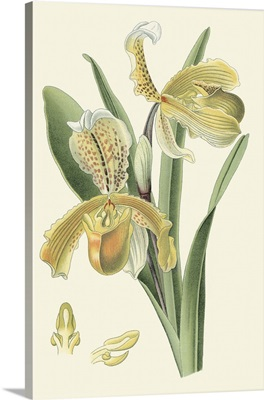 Delicate Orchid IV