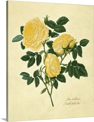Double Yellow Rose