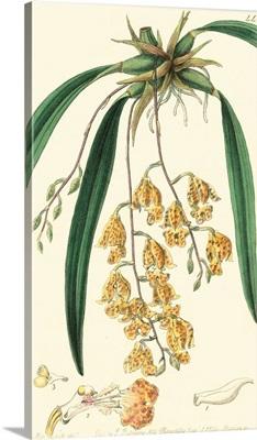 Elegant Orchid I