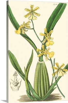 Elegant Orchid III