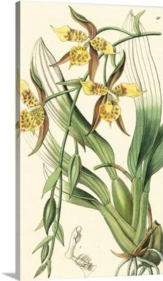 Elegant Orchid IV