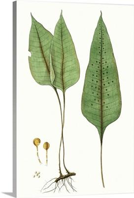 Fern Foliage VI