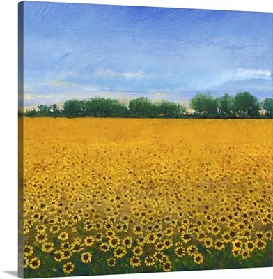 Field of Sunflowers II