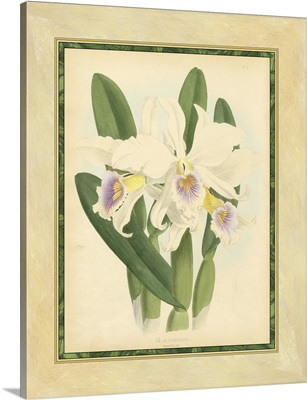 Fitch Orchid II
