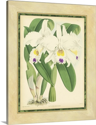 Fitch Orchid III