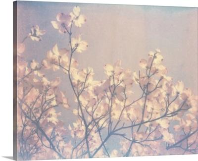 Flowering Dogwood II