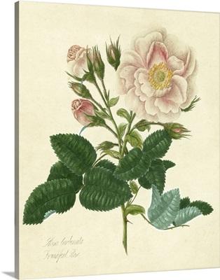 Frankfort Rose