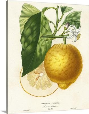 French Lemon Botanical I