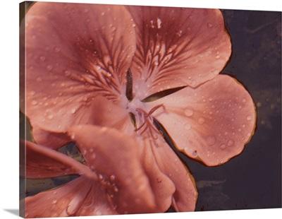 Garden Geraniums I