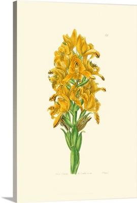Golden Beauty IV