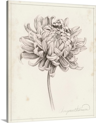 Graphite Chrysanthemum Study I