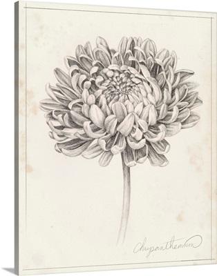 Graphite Chrysanthemum Study II