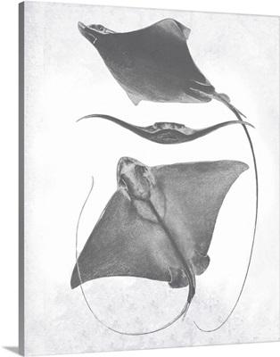 Grey-Scale Stingrays III