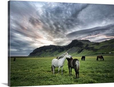 Icelandic Horses IX