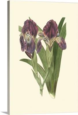 Iris Varieties II