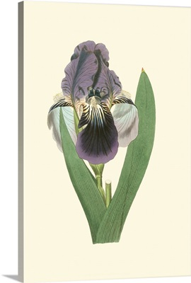 Iris Varieties III