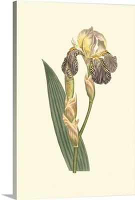 Iris Varieties IV