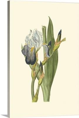 Iris Varieties V
