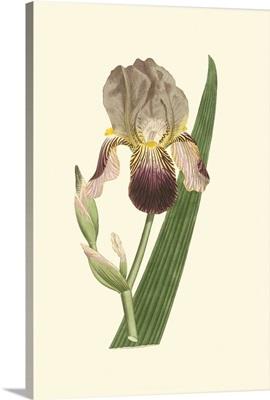 Iris Varieties VI