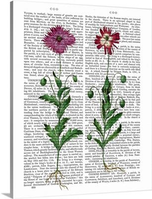 Italian Carnation III