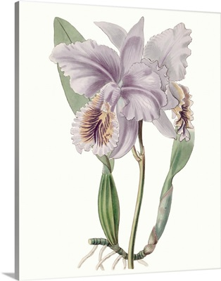 Lavender Beauties II