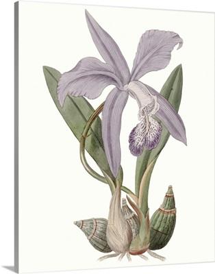 Lavender Beauties IV