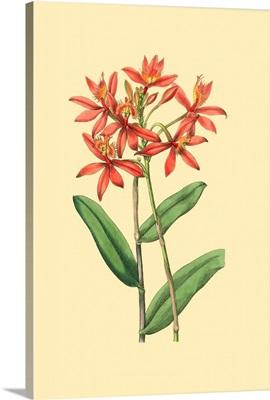 Le Fleur Rouge IV