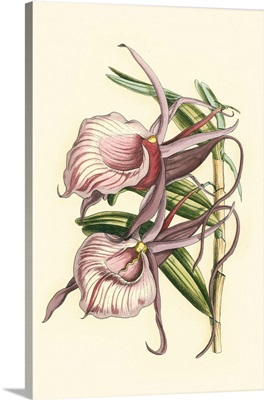 Lilac Orchid IV