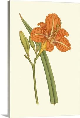 Lily Varieties I