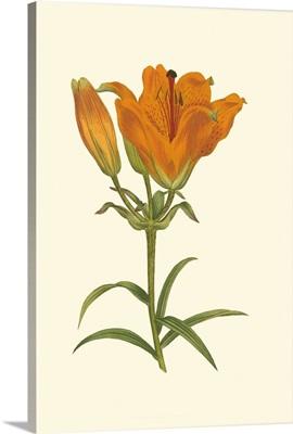 Lily Varieties III