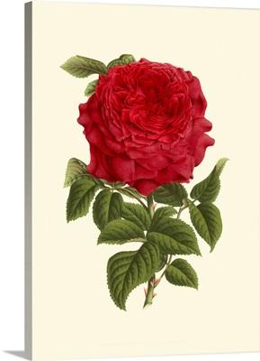 Magnificent Rose II