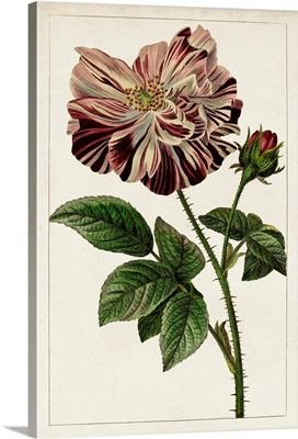 Mauve Botanicals V