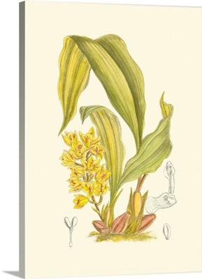 Orchid Plenty I