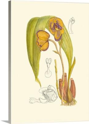 Orchid Plenty VI