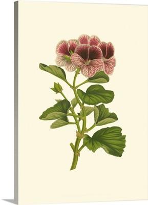 Pink Geranium II