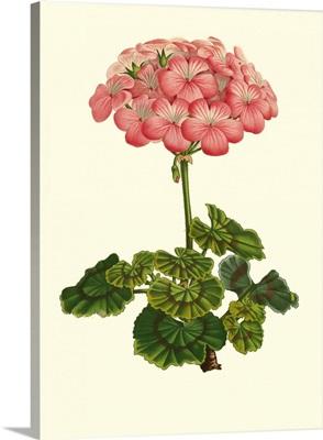 Pink Geranium III