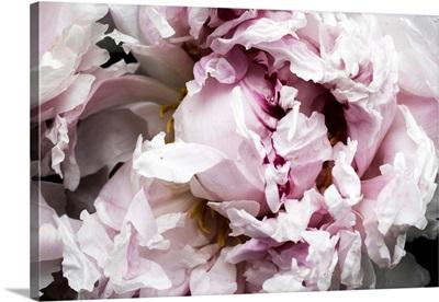 Pink Peony Passion II