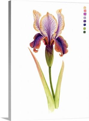 Rainbow Iris II