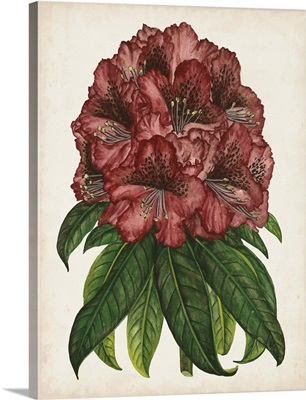 Rhododendron Study I