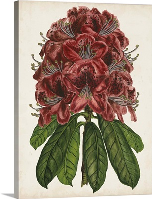 Rhododendron Study II