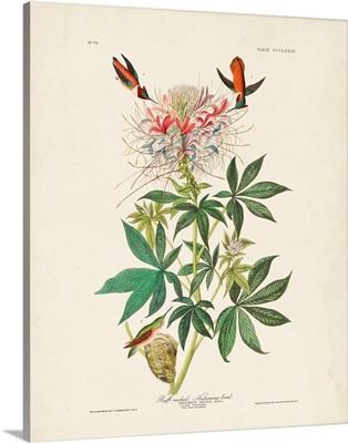 Ruff-Necked Hummingbird