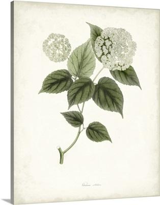 Sage Botanical I