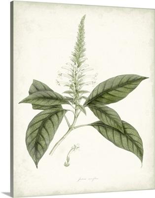 Sage Botanical II