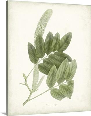 Sage Botanical IV