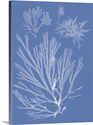 Seaweed Cyanotype II