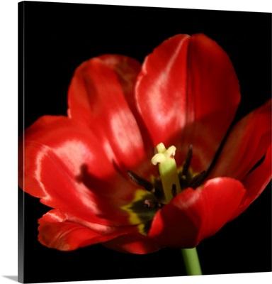 Shimmering Tulips IV