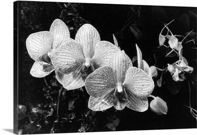 Striking Orchids II