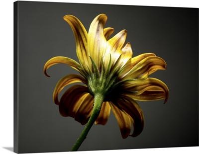 Studio Flowers III