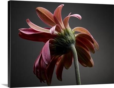 Studio Flowers IV